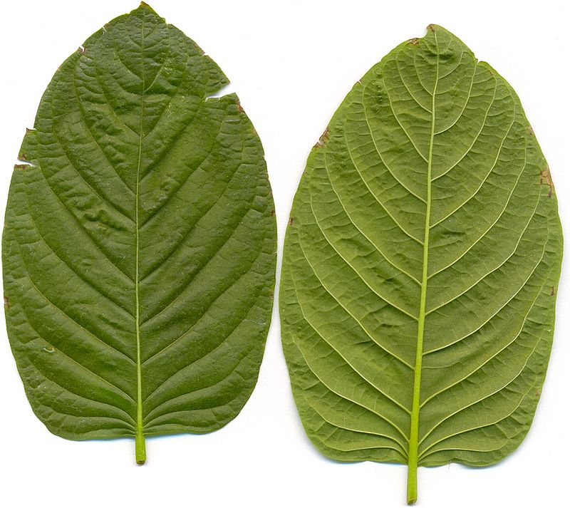 Organization Of Environment-friendly Capillary Kratom